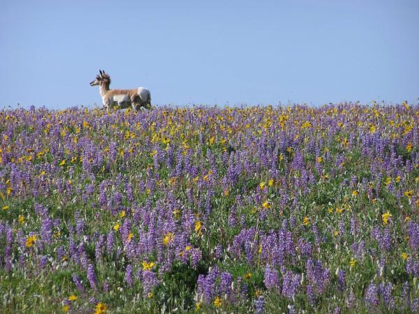 spring wildflowers in antelope - photo #14